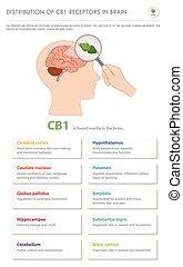 récepteurs, vertical, business, infographic, cerveau, distribution, complet, cb1