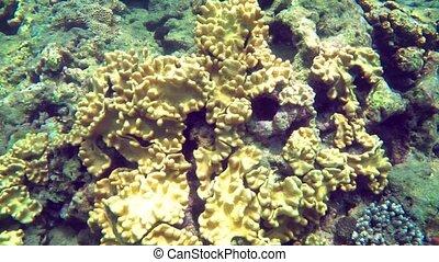 récif, exotique, diver's, corail, thaïlande, fermé, ...