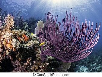 récifs, corail, amérique, nord