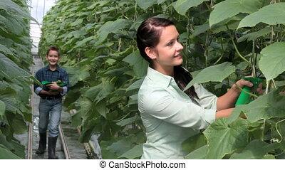 récolte, concombres