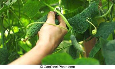 récolte, ouvrier, serre, cucumbers.
