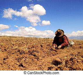 récolte, pérou, pomme terre