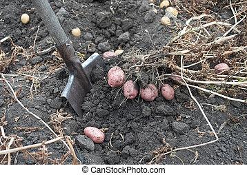 récolte, rassemblement, pommes terre