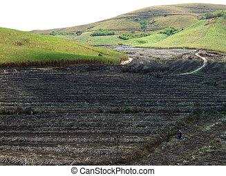 récolte, terre, canne, brûlé, sucre