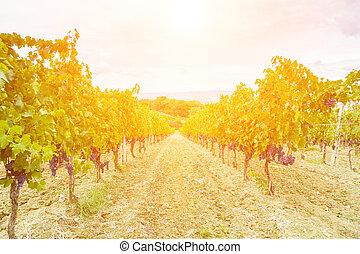 récolte, -, toscane, coucher soleil, raisin