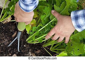 récoltes, légume, désherber, râteau, main