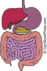 région, diagramme, humain, intestin, gastro-intestinal, anatomie