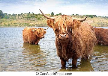 région montagneuse, écossais, vache