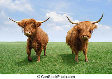 région montagneuse, cattles