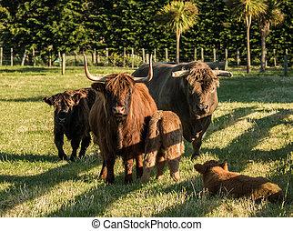 région montagneuse, famille, bétail