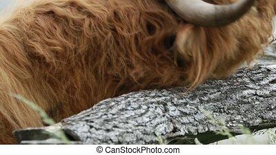 région montagneuse, fourrure, cattle's