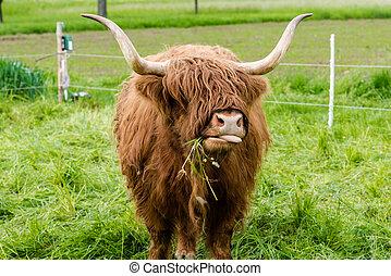 région montagneuse, vache, écossais