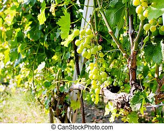 région, Raisins,  Etna, blanc, tas, vin