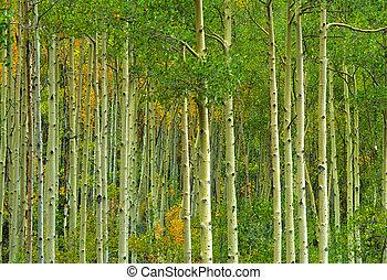 résumé, forêt aspen
