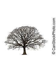 résumé, hiver, arbre chêne