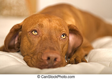 rêveur, chien