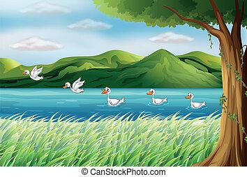 río, cinco, patos