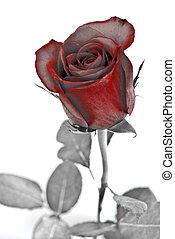 róża, abstrakcyjny, leaves., odizolowany, tło., zieleń biała, czerwony