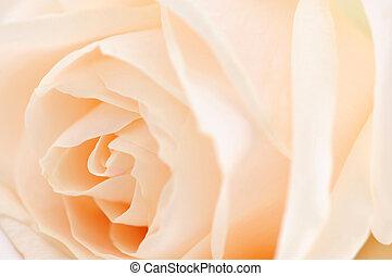 róża, beżowy