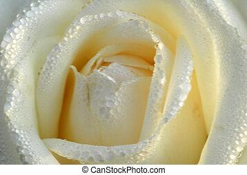 róża, biały kwiat