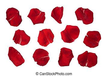 róża, biały, odizolowany, płatki