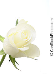 róża, biały, odizolowany