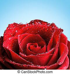 róża, czerwony, rosa