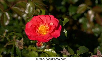róża, czerwony, wiatr