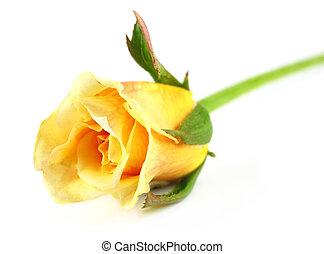 róża, do góry, żółty, zamknięcie