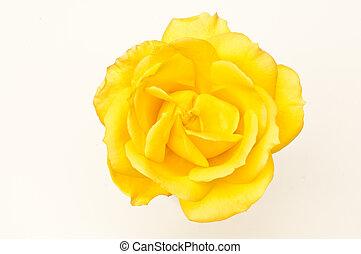 róża, jednorazowy, żółty, makro