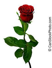 róża, jednorazowy, białe tło, czerwony