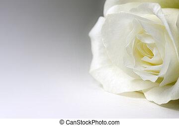 róża, jednorazowy, biały
