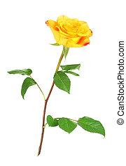 róża, kwiat, żółty
