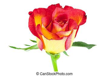 róża, kwiat, closeup, czerwony żółty
