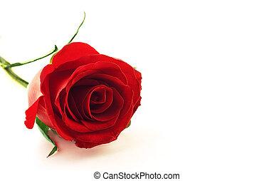 róża, kwiat, czerwony