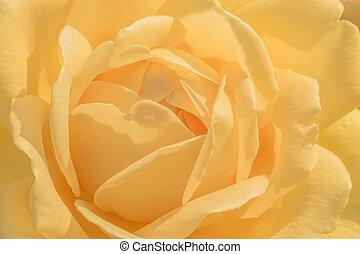 róża, kwiat, do góry, żółty, zamknięcie
