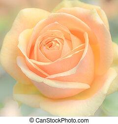 róża, kwiat, tło