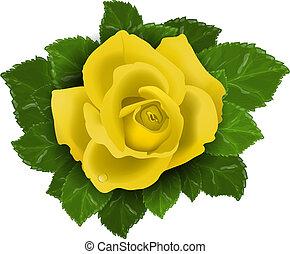 róża, liście, kwiat, żółty