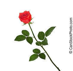 róża, liście, odizolowany, zielone tło, biały czerwony