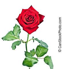 róża, liście, pień