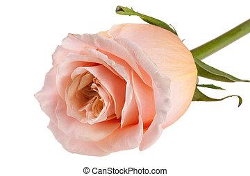 róża, odizolowany, beżowe tło, świeży, biały