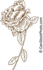 róża, rysunek, pień