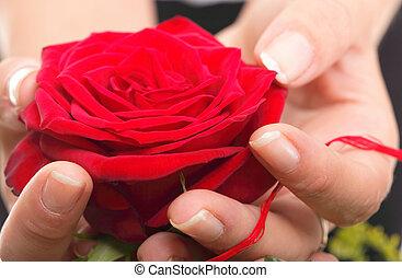 róża, siła robocza, kobieta, płatki