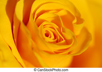 róża, szczelnie-do góry, żółty