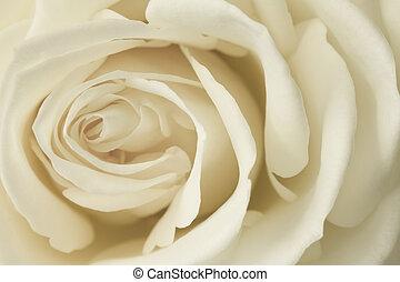 róża, wizerunek, śmietanka, do góry szczelnie