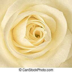 róża, wizerunek, do góry, jednorazowy, zamknięcie, śmietanka