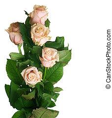 róże, biały, odizolowany