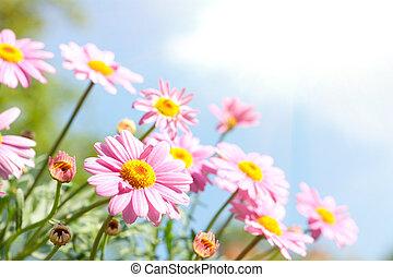 różowa margerytka