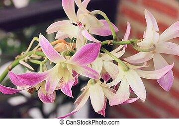 różowa orchidea