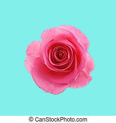 różowy, błękitny kwiat, tło, róża